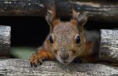 image of trough  - Red squirrel peeking out of the window a feeding trough in the city park - JPG