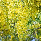 foto of cassia  - Beautiful yellow flower Golden shower  - JPG