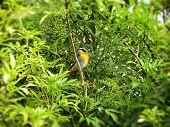 stock photo of elderberry  - A view of a Cape Robin perched in an Elderberry tree - JPG