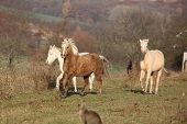 stock photo of running horse  - Batch of horses running in autumn together - JPG