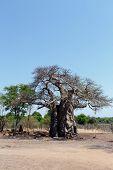 foto of baobab  - majestic old baobab tree  - JPG