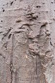 foto of baobab  - texture of lonely baobab tree in South west Namibia Africa - JPG
