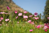 stock photo of cosmos flowers  - Cosmos flowers are blooming in the garden. ** Note: Shallow depth of field - JPG
