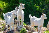 Постер, плакат: Goats