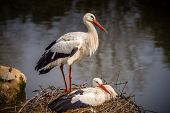 picture of stork  - Two storks in the nest - JPG