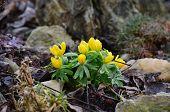 image of bohemia  - view flower Eranthis South Bohemia Czech Republic - JPG