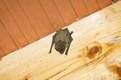 foto of upside  - A bat hanging upside down on a wooden beam on the ceiling inside a house - JPG