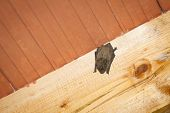 picture of upside  - A low angle view of a bat hanging upside down on a wooden beam on the ceiling inside a house - JPG