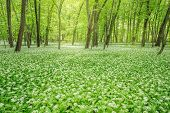 image of deep  - White flowers of the ramsons or wild garlic in the deep forest - JPG