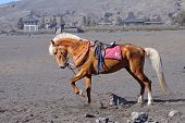 picture of bromo  - Horse at the foothills of Bromo volcanoTengger Semeru National Park East Java Indonesia - JPG