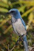 stock photo of blue jay  - Endangered Florida Scrub - JPG