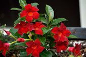 picture of trumpet flower  - Red and orange Mandevilla blooms with buds and green leaves in flower pot against a black background - JPG