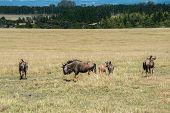 picture of wildebeest  - Blue wildebeest or brindled gnu  - JPG