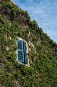 picture of ivy vine  - A window in a house covered with ivy - JPG