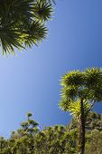 stock photo of australie  - The cabbage tree is one of the most distinctive trees in the New Zealand landscape  - JPG