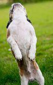 stock photo of dog breed shih-tzu  - Cute Bichon Frise cross Shih Tzu playing in his garden - JPG