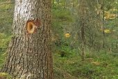 foto of woodpecker  - Close - JPG