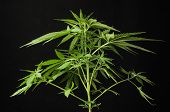image of marijuana leaf  - Young Green Leaf Cannabis Indica Plant Marijuana - JPG