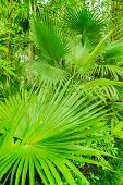 picture of washingtonia  - In this picture is a plant called washingtonia filifera - JPG