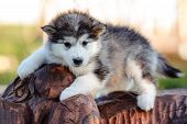 pic of husky sled dog breeds  - cute puppy of alaskan malamute dog in summer - JPG