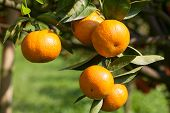pic of orange-tree  - Closeup fresh orange on plant - JPG