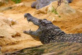 foto of crocodile  - Big Crocodile Resting In A Crocodiles Farm - JPG