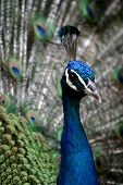 Indian Peafowl (Peacock)