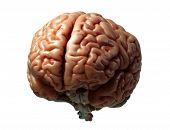 Постер, плакат: Модель мозга