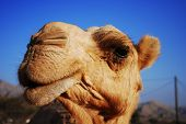 stock photo of cheeky  - Cheeky and very inquisitive Arabian Camel Close - JPG