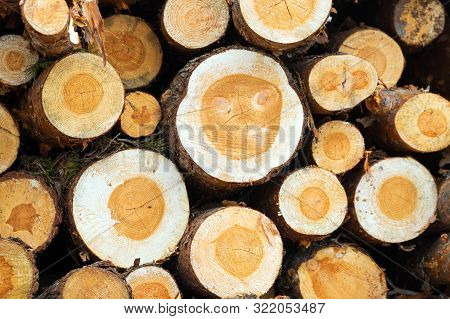 poster of Wood Saw Cuts In A Pile Of Logs, Front View Of Harvested Logs