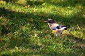 Colorful Garrulus Glandarius Or Jay Bird With Acorn In His Beak, Hungry Eurasian Jay Bird In Autumn poster
