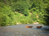 Cows Wade Cross The River Water Flow On A Summer Day. Cows Crossing River Countryside Farmer. Cows C poster