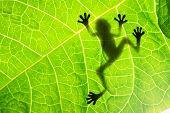 stock photo of cute frog  - Frog shadow on the leaf - JPG
