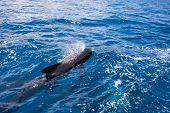 Black Pilot Whales Breathing In Blue Water Of Atlantic Ocean poster
