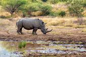 Endangered Species Of White Rhinoceros On Small Water In Pilanesberg National Park & Game Reserve, S poster