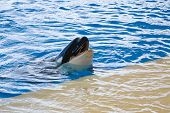 pic of orca  - Orca whale Orcinus orca Show Loro Parque Tenerife Canarian islands - JPG