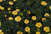 Mexican Marigold Yellow Flowers Panning To The Meadow In Summer. Yellow Marigold Flowers. Yellow Flo poster