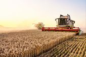 Combine Harvester Harvests Ripe Wheat. Ripe Ears Of Gold Field On The Sunset Cloudy Orange Sky Backg poster