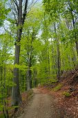 image of centenarian  - hiking trail through the forest in springtime - JPG