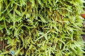 Damp Green Moss With Dewdrops. Green Lush Moss In The Forest As The Background Of The Picture. Brigh poster