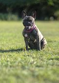 Brindle French Bulldog Obediently Sitting Looking In To Camera ,  Green Park Background ,  Copy Spac poster
