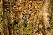 Tigress, Panthera Tigris At Pench National Park In Maharashtra, India. poster