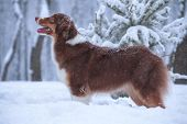 Australian Shepherd Breed Dog (aussi) Stands Obediently On Snow In Forest poster