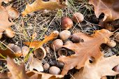 Symbol Of Fall. Close Up Ripe Acorns And Oak Leaves On Ground. Autumn Forest Concept. Gifts Of Fall. poster