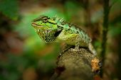 Emma Grays Forest Lizard - Calotes Emma Species Of Lizard In The Family Agamidae. The Species Is End poster