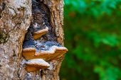 Chaga Mushroom Or Inonotus Obliquus On The Trunk Of A Tree On A Background Of Green Summer Foliage poster