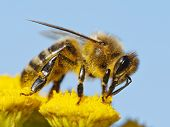 picture of sting  - detail of honeybee  - JPG