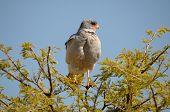 image of goshawk  - Southern Pale Chanting Goshawk Melierax canorus Etosha National Park Namibia - JPG