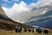 Yaks in Langtang valley with Langshisha Ri mout - Nepal