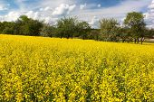 stock photo of rape-field  - field of rapeseed plant for green energy - JPG